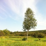 Funeral chair and birch tree in Cape Breton.