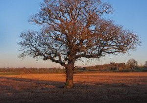 QUERCUS ROBUR...The English Oak....Another Favourite Tree in the late afternoon sunlight on the last of the winter stubble before ploughing begins in March.